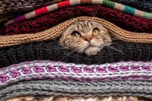 セーターから顔を出す猫