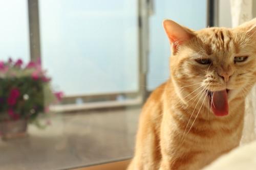 嘔吐物の前にいる猫