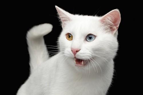 鳴く白い猫
