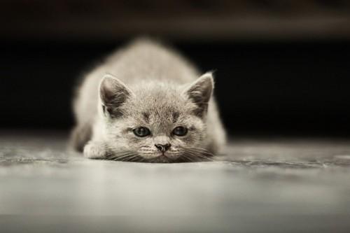 伏せする子猫
