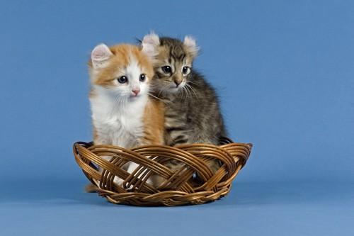 籠に入って同じ方向を見つめる2匹のアメリカンカールの子猫