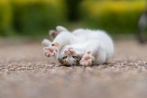 ごろごろ転がる猫
