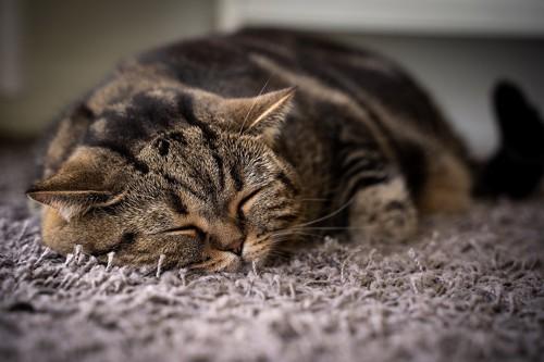 床にあごをくっつけて寝ている猫