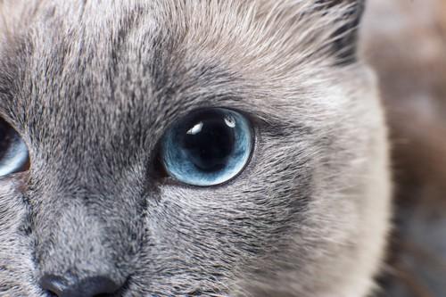 青い瞳の猫のアップ