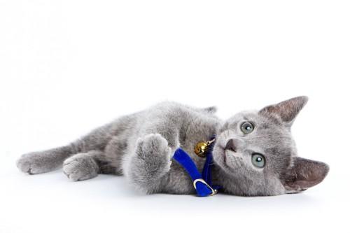 青い首輪をつけて寝転ぶ子猫