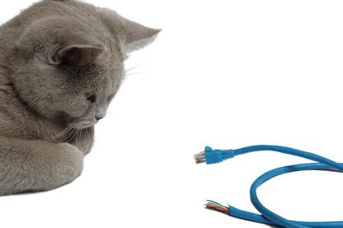 コードを見つめる猫