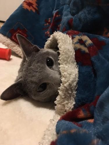 こたつ布団化から目だけ覗かせている猫