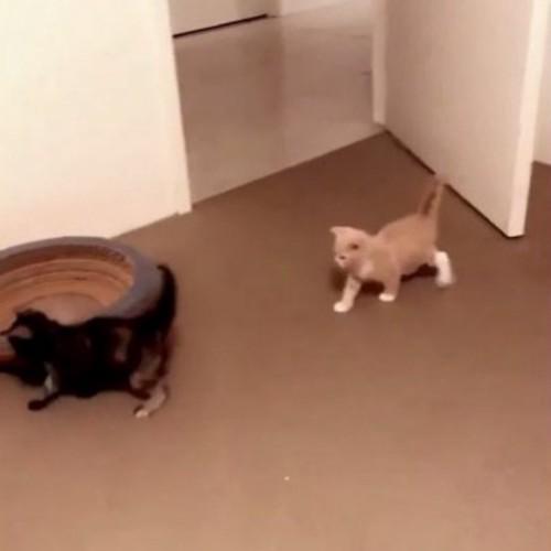 室内を歩いている2匹の子猫