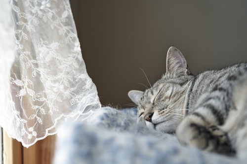 カーテンの横で眠っている猫
