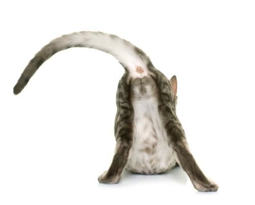 肛門を見せる猫の後ろ姿