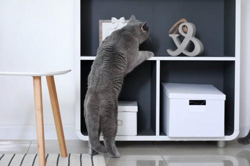 立ち上がって棚を物色する猫