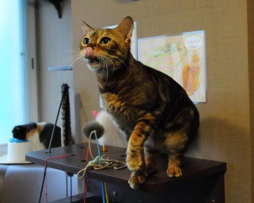 きゃりこ新宿店の猫