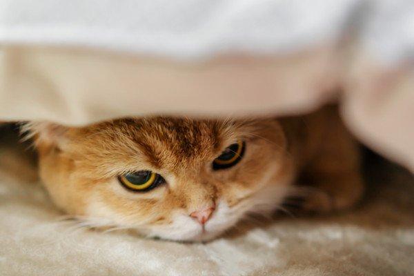 布団の中に隠れて顔をのぞかせる猫