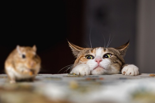 机の上のハムスターを狙う猫