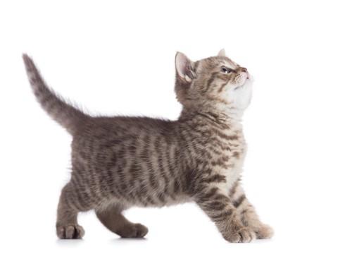 しっぽを立てた子猫
