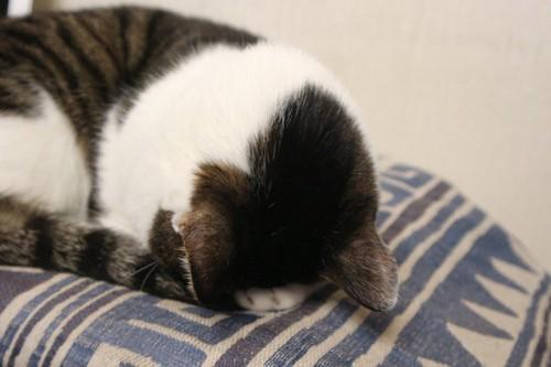 ごめん寝しているサバトラ猫