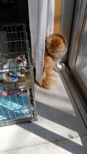 ケージの子猫と外に大猫