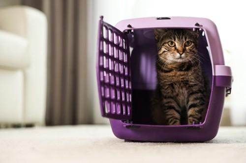 紫のキャリーに入る猫