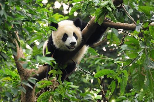 木登りをする子供のパンダ