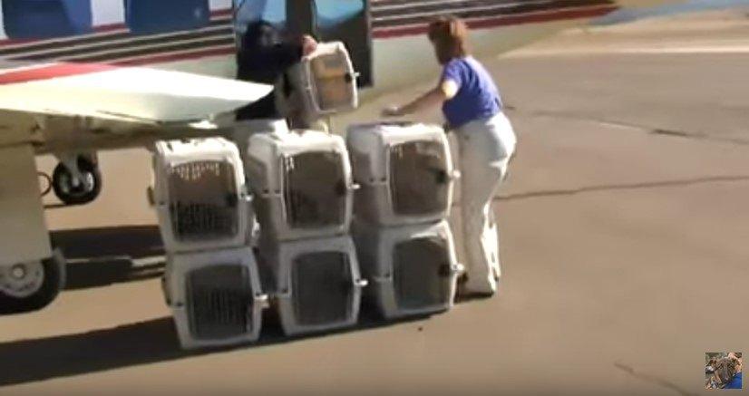 飛行機から降ろされる猫たち