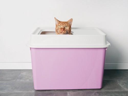 目隠しつきトイレから顔を出す猫