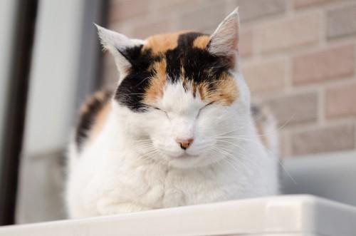 香箱座りで眠る三毛猫