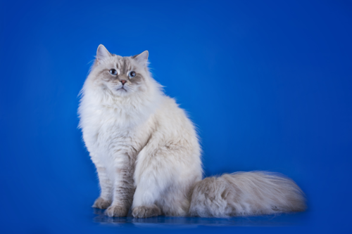 青バックの猫