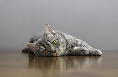 床に横になってこちらを見る猫