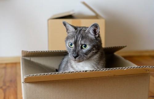 段ボール箱の中から顔をだす猫