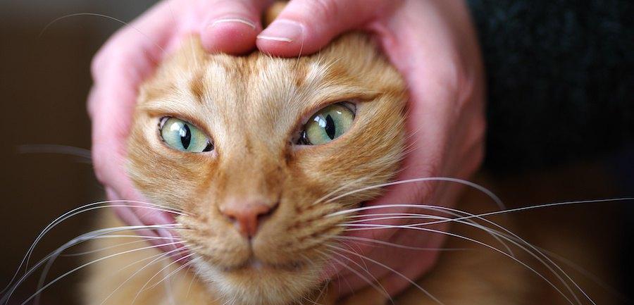 顔を人の両手で包まれている猫