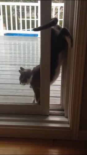 お尻をあげる猫