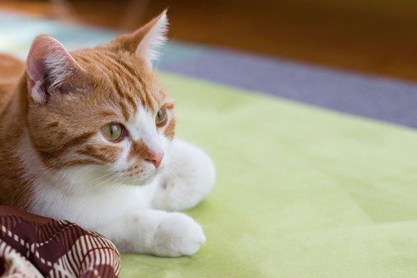 コタツの前でくつろぐ猫