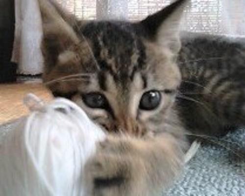 毛糸玉を抱える子猫