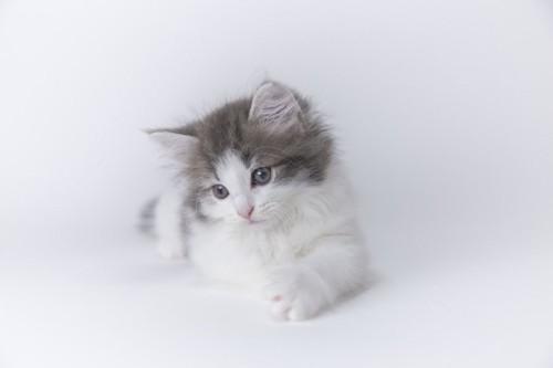 何かを見つめるノルウェージャンフォレストキャットの子猫
