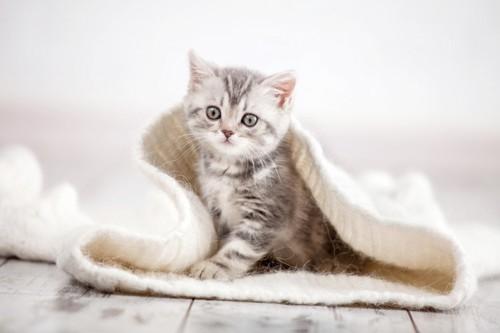 セーターに入る子猫