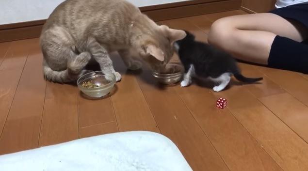 フードボウルに顔を近付ける猫