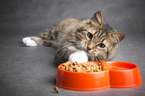 餌に近づく猫
