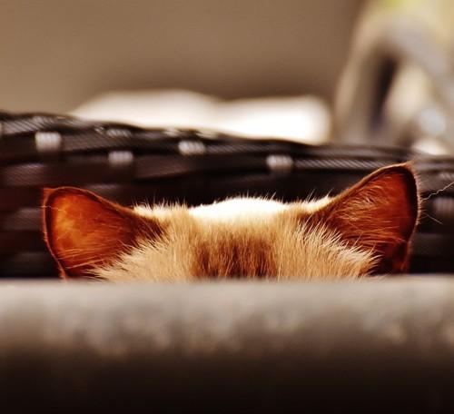 猫の耳のアップ