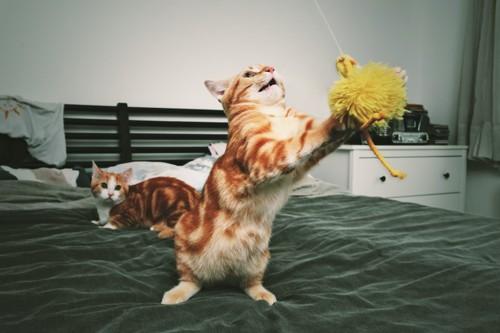 ベッドの上でおもちゃにじゃれる猫とそれを見る猫