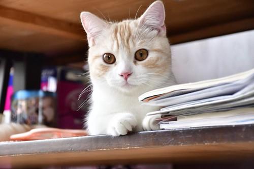 テーブルの上からこちらを見つめるマンチカン