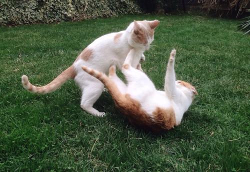 じゃれあう二匹の兄弟猫