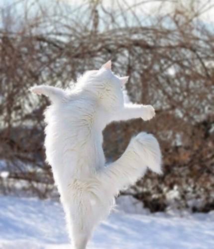立ち上がり両手を広げる白猫