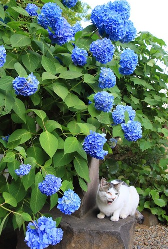 大きな紫陽花の木の下で休む猫