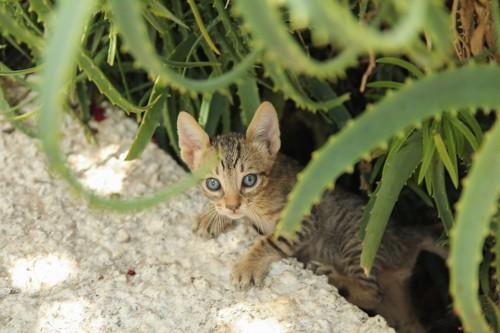 アロエの陰に隠れる仔猫