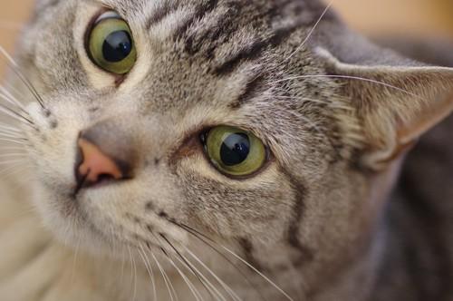 大きな瞳でこちらを見つめる猫