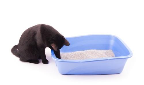 トイレ砂を触る黒猫