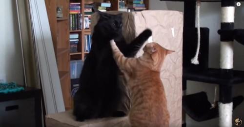 戯れている黒猫と茶トラ猫
