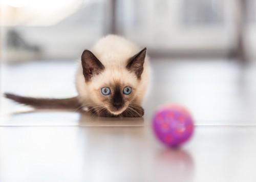 遊ぶシャム猫