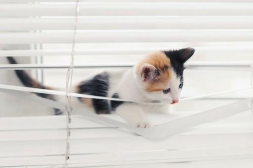 ブラインドに乗って歩く子猫
