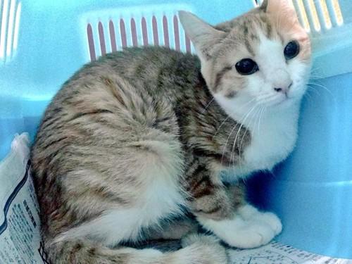 保護猫カフェの猫ミーナちゃん